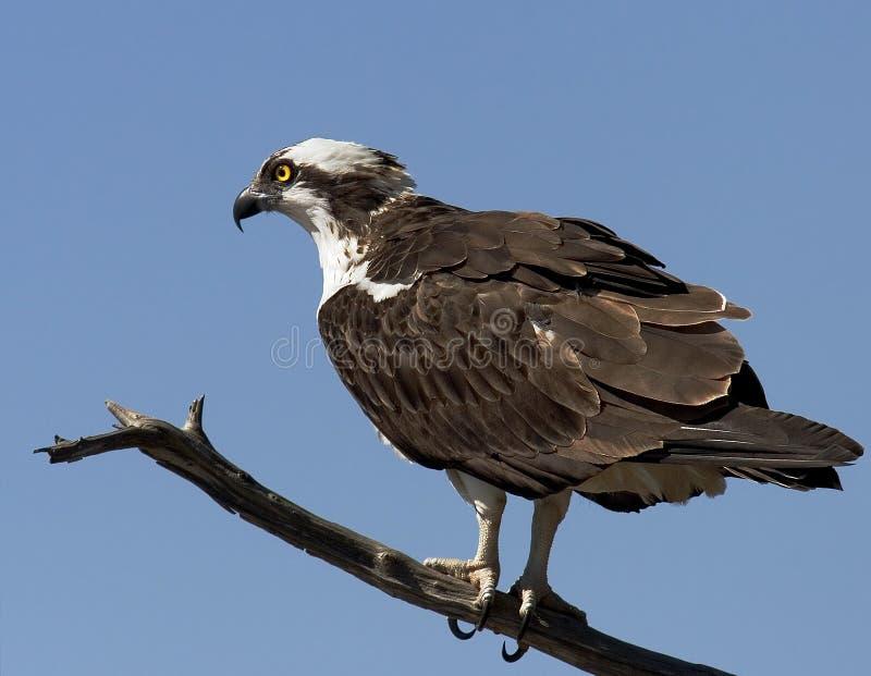 Download Osprey immagine stock. Immagine di branche, texas, standing - 213019