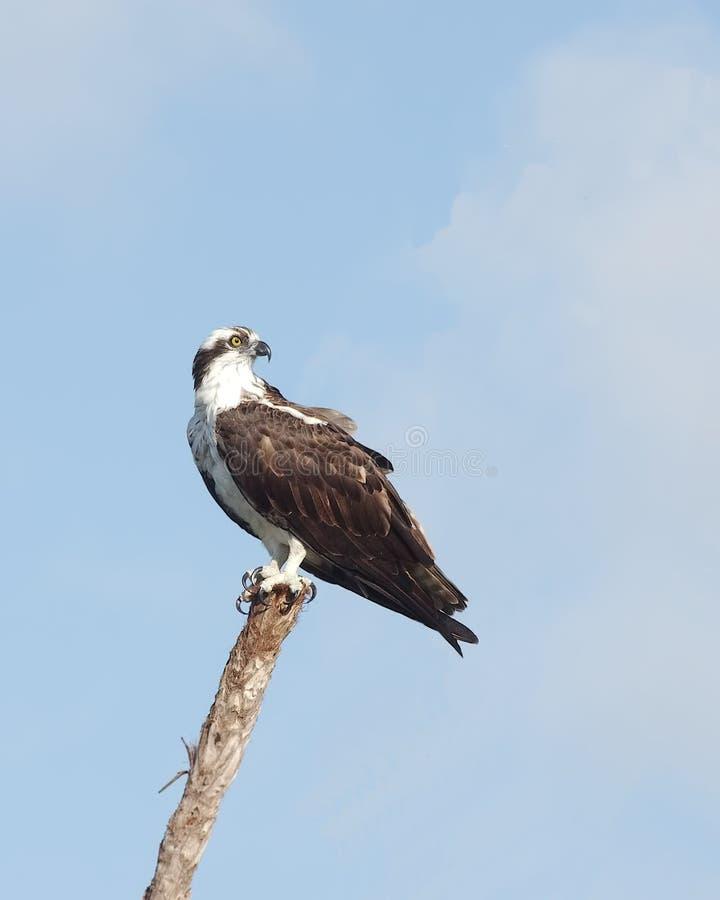 osprey стоковое фото rf