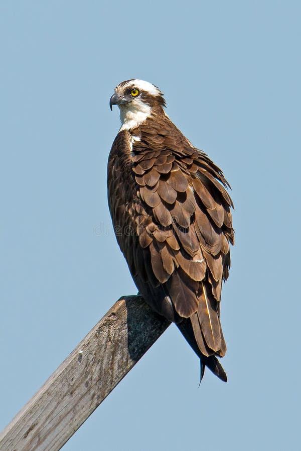 Osprey images stock