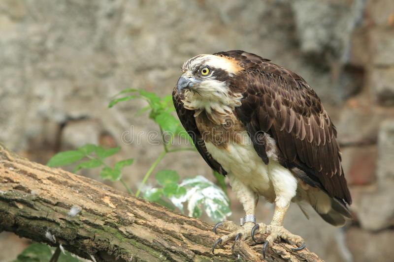 Download Osprey stock photo. Image of osprey, fish, hawk, nature - 25752610