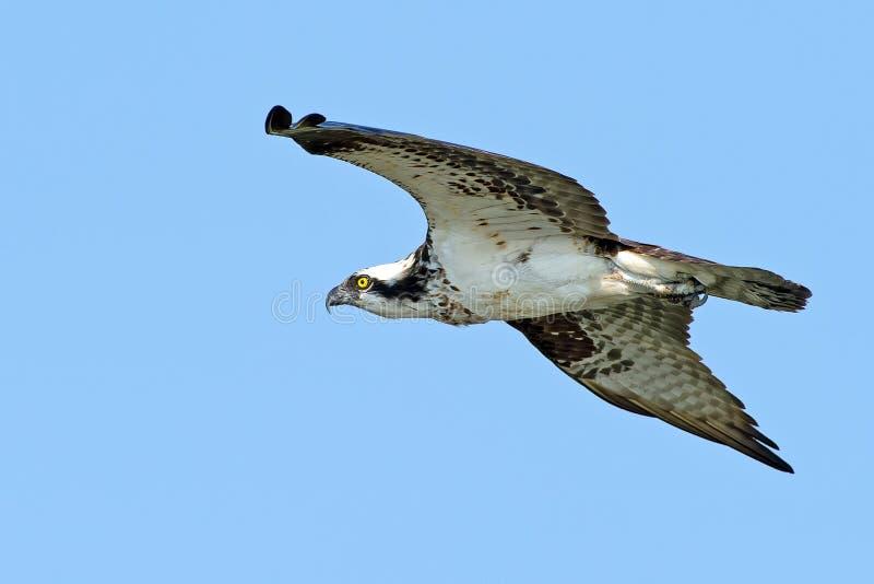 Download Osprey Stock Image - Image: 25852751