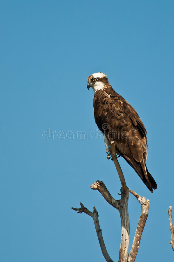 Osprey foto de stock