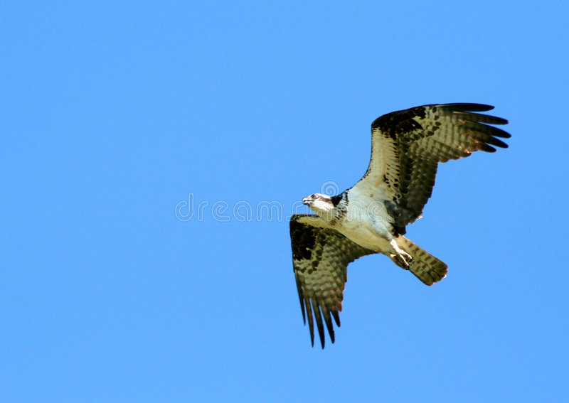 Osprey 3 photos stock