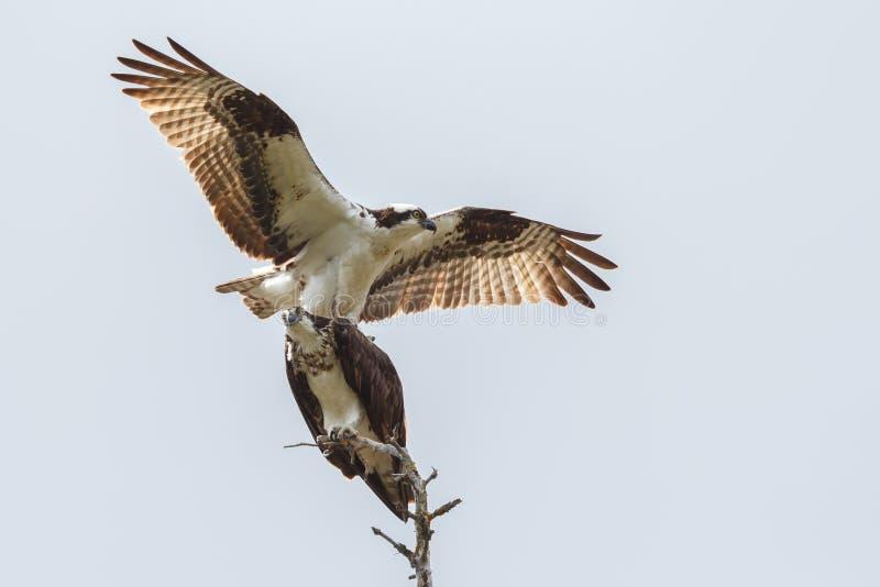 Download Osprey foto de archivo. Imagen de osprey, garras, blanco - 41913286