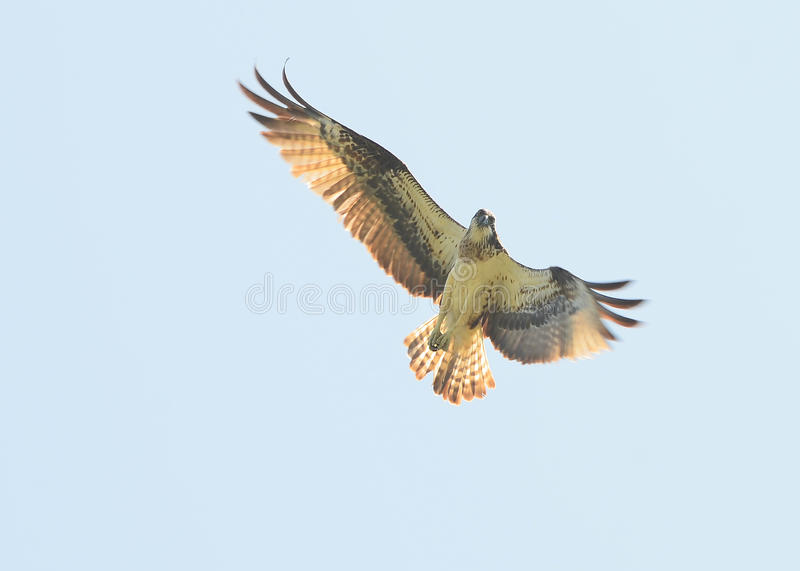 Download Osprey image stock. Image du chasseur, clavettes, oiseau - 45359951