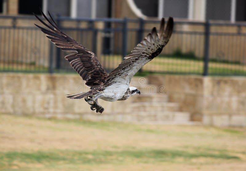 osprey fotografia de stock royalty free