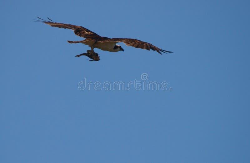 Osprey imagen de archivo