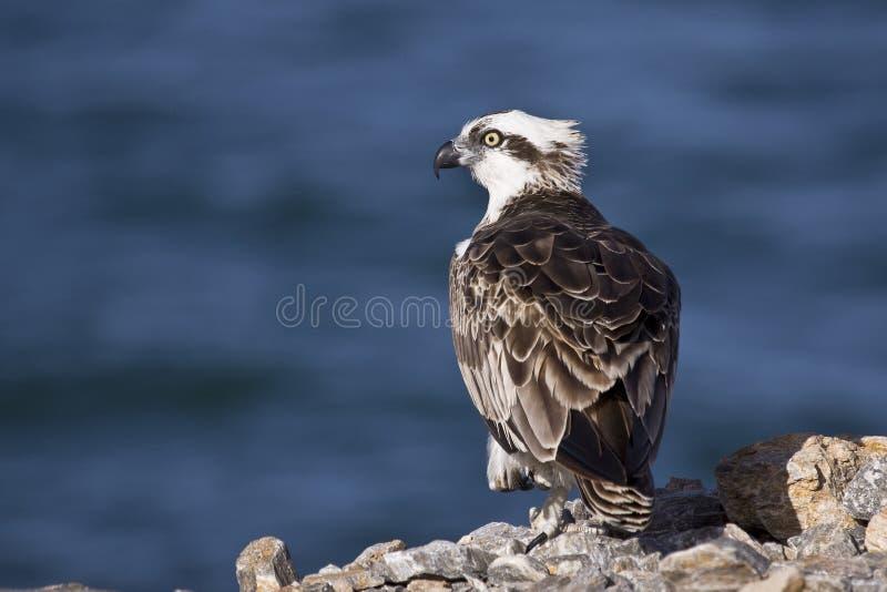 osprey imagem de stock royalty free