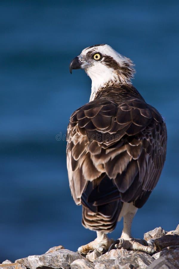 osprey fotos de stock