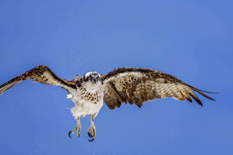 osprey fotografía de archivo
