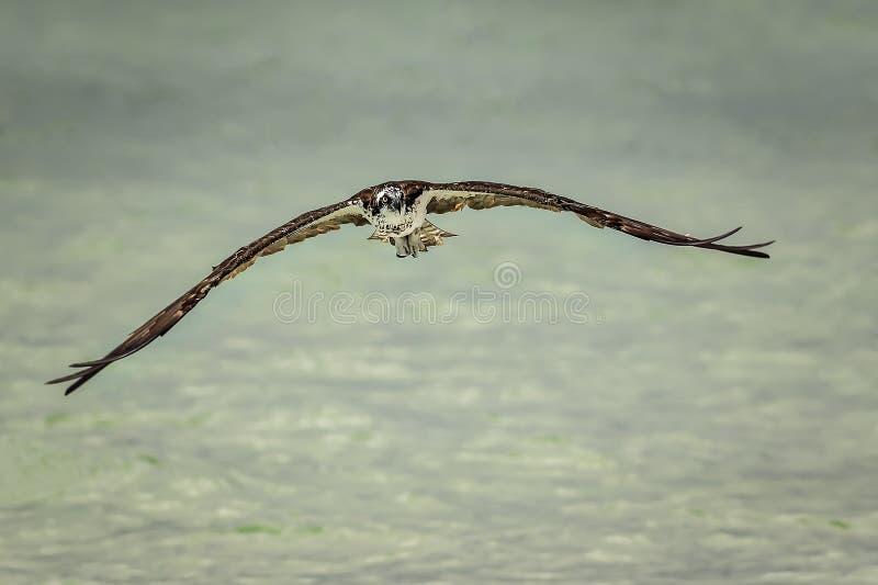 osprey imágenes de archivo libres de regalías