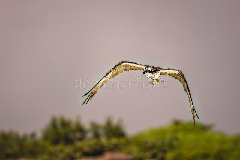 osprey fotos de archivo
