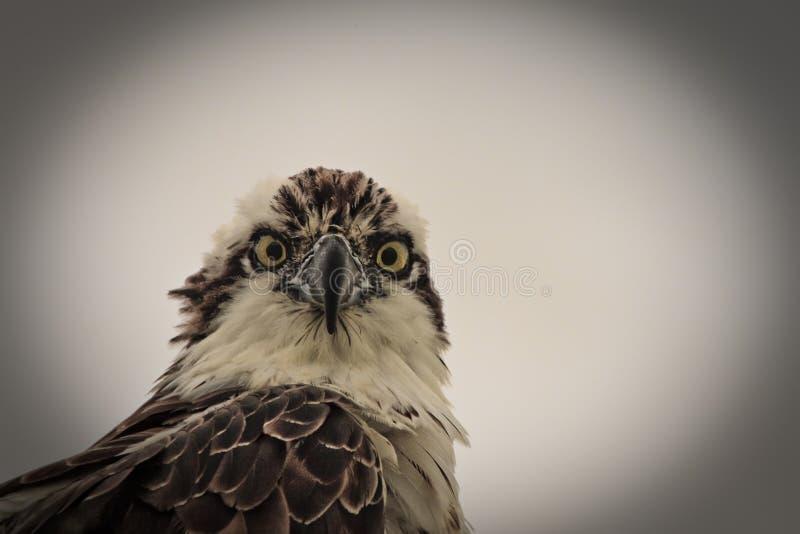 Osprey lizenzfreies stockfoto