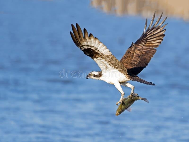 osprey fotografia stock