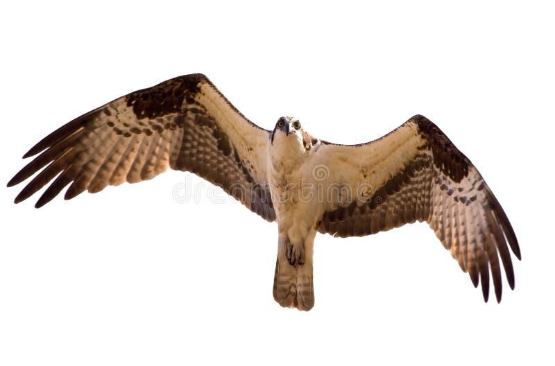 Osprey. lizenzfreie stockfotografie