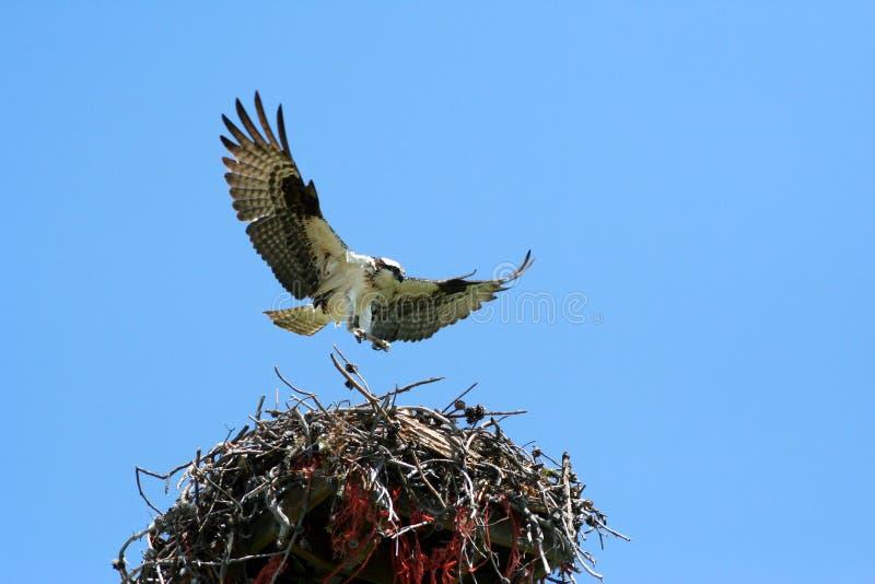 Osprey 8 image libre de droits
