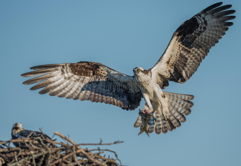 osprey royalty-vrije stock foto