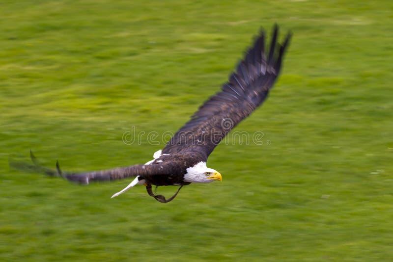 Osprey americano no vôo foto de stock
