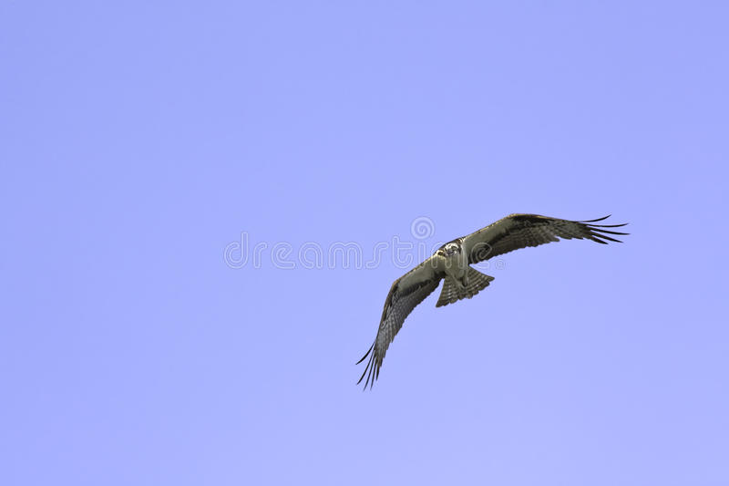 Osprey americano no vôo de encontro a um céu azul foto de stock royalty free