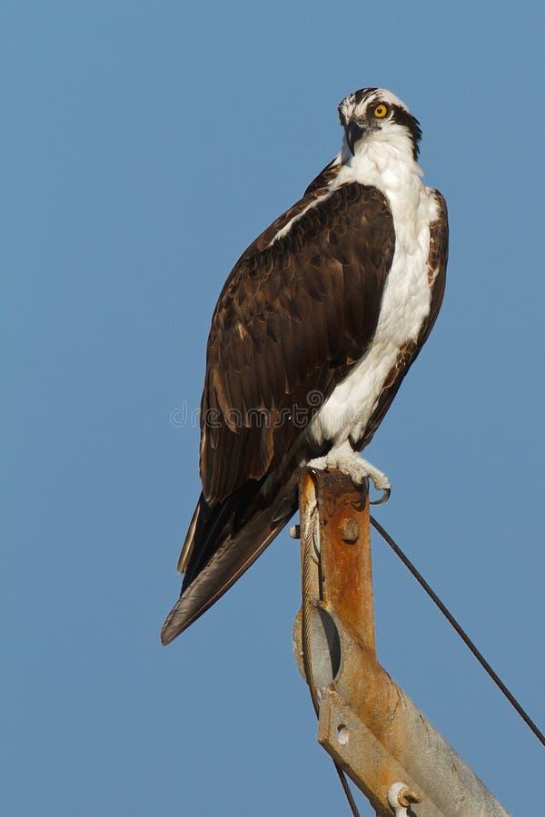 Osprey auf blauem Himmel lizenzfreie stockfotos