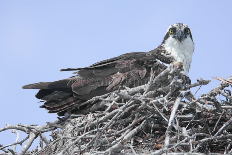 Download Osprey auf einem Nest stockbild. Bild von nest, raub, schützen - 9081997