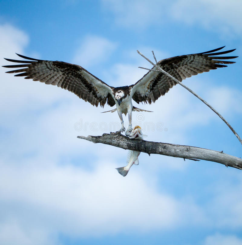 Osprey avec des poissons photos stock