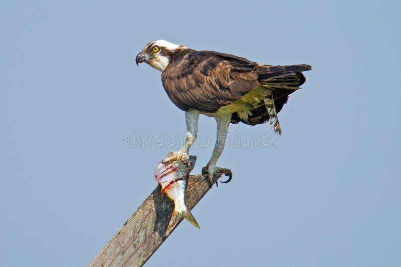 Osprey avec des poissons photographie stock