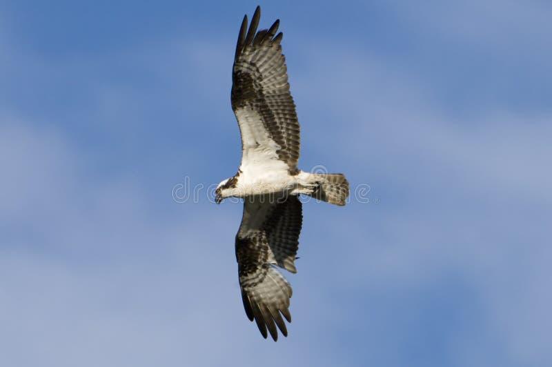 Download Osprey Bird In Flight Royalty Free Stock Image - Image: 5880316