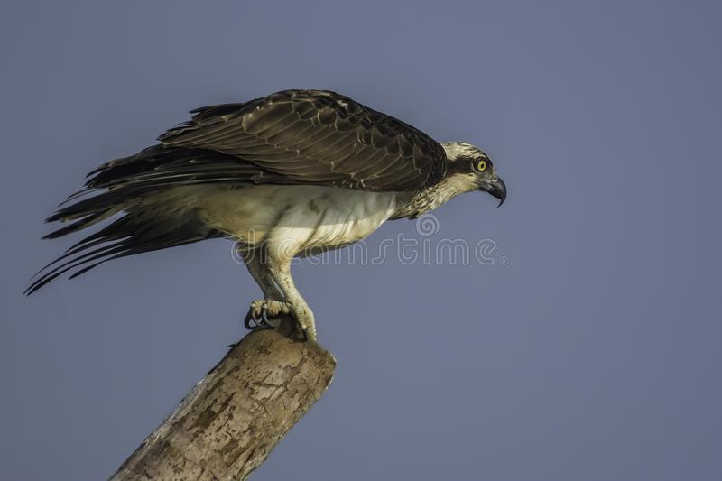 Osprey bird in a take off position stock image