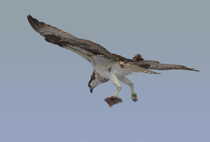 Osprey with breakfast royalty free stock images