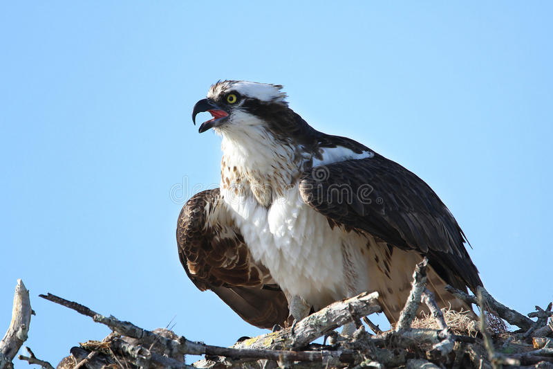 Download Osprey Calling From Nest stock photo. Image of bird, osprey - 23971384