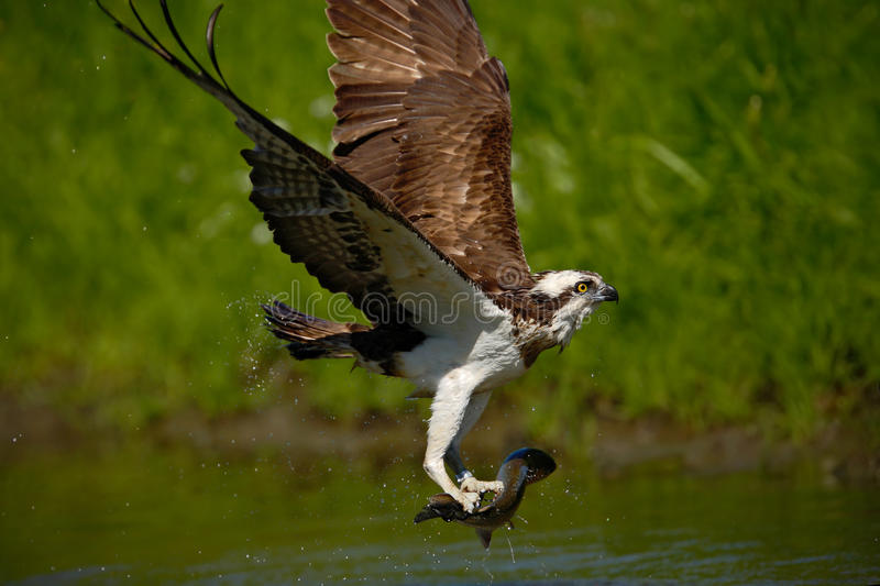 Osprey catching fish flying osprey with fish action for Osprey catching fish