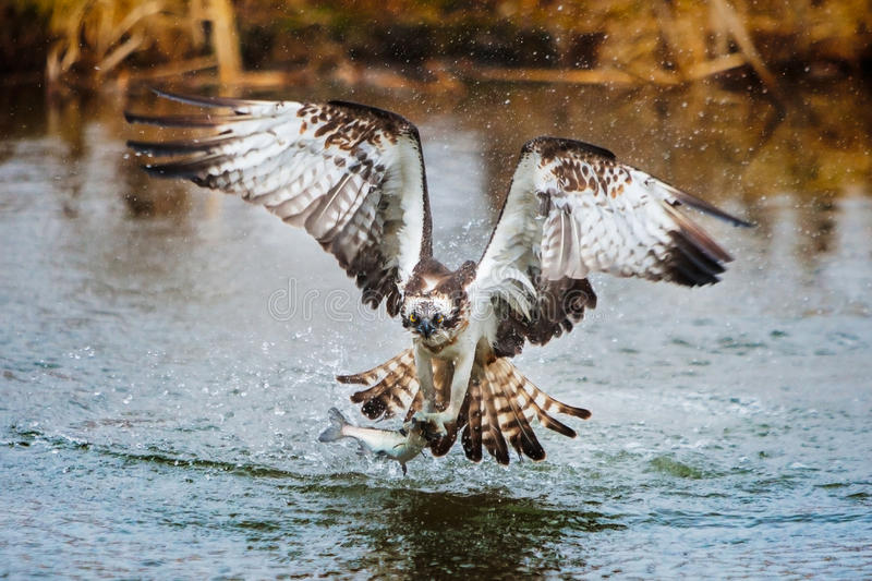 Osprey catching a fish royalty free stock photos