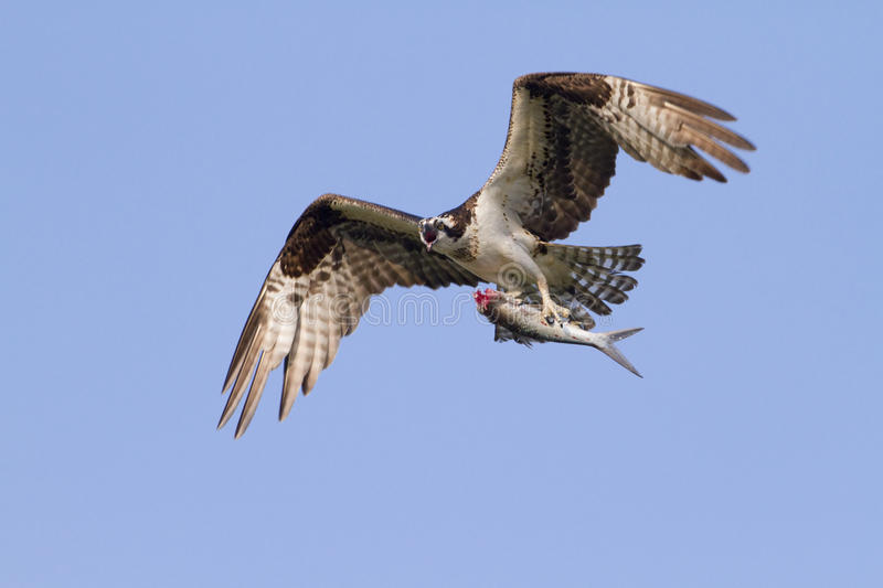 Osprey with the caught. The Osprey (Pandion haliaetus) with the caught fish stock photography