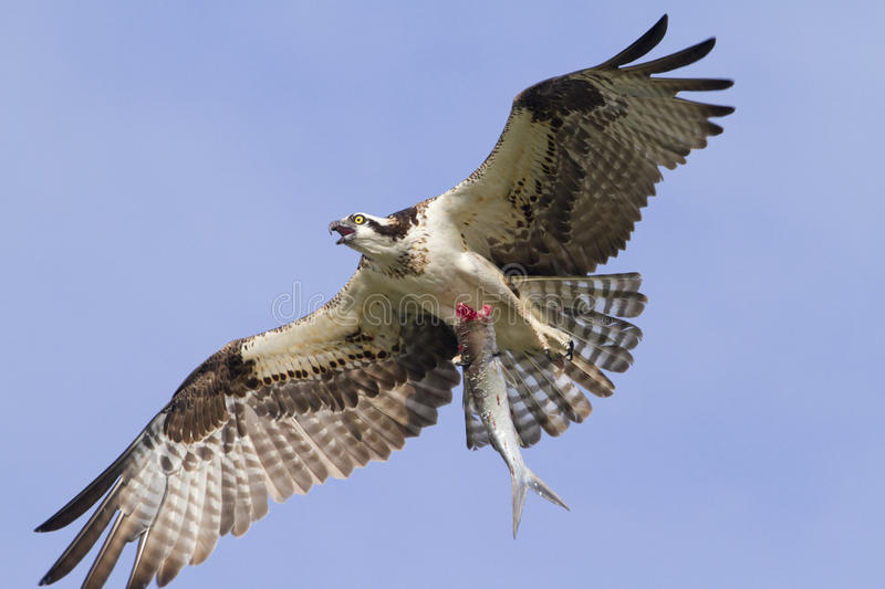 Osprey with the caught. The Osprey (Pandion haliaetus) with the caught fish stock images