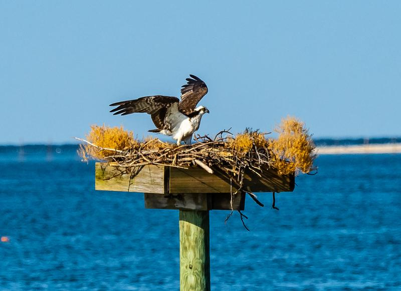 Osprey on the Chesapeake. An osprey in its nest nest on the Chesapeake Bay in Virginia, with its wings lifted royalty free stock photography