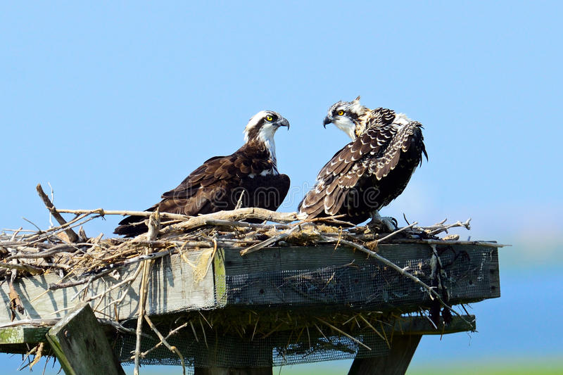 Osprey And Chick royalty free stock photography