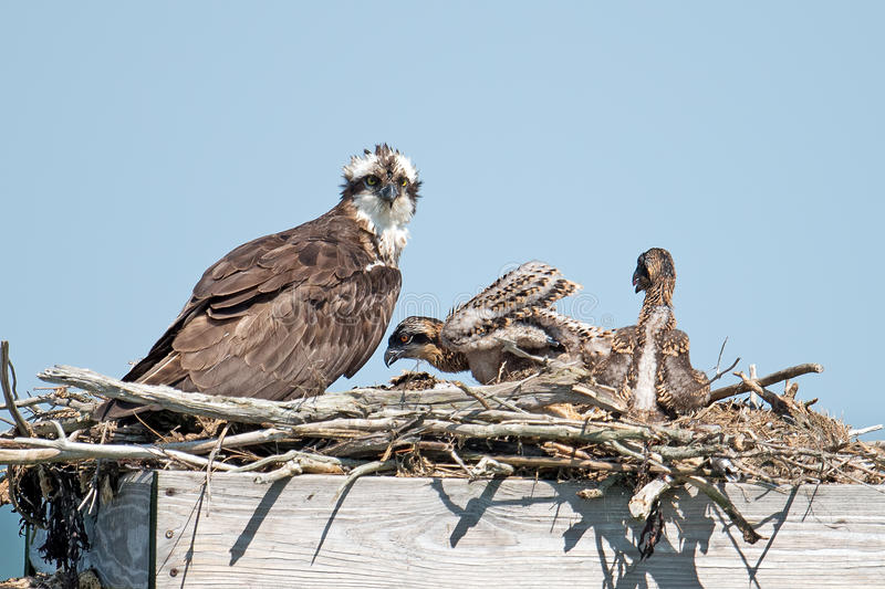 Download Osprey And Chicks stock photo. Image of animal, baby - 25409246