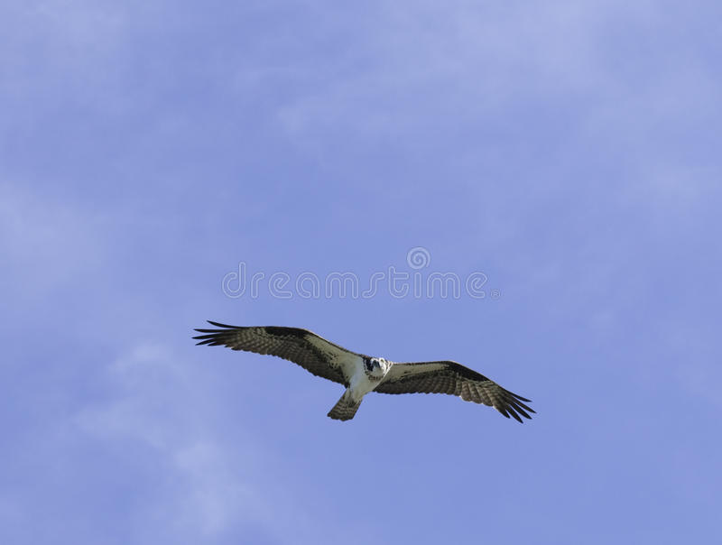 Osprey Circling Overhead Royalty Free Stock Photos