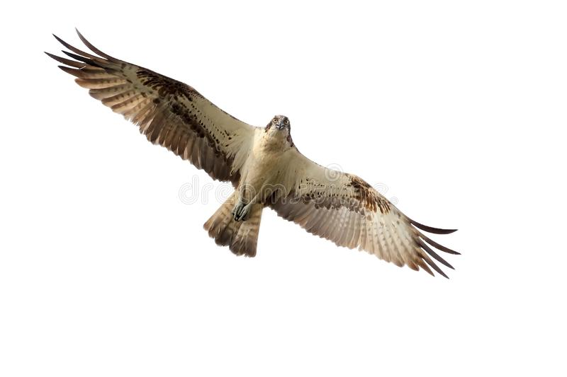 The osprey in flight stock photography