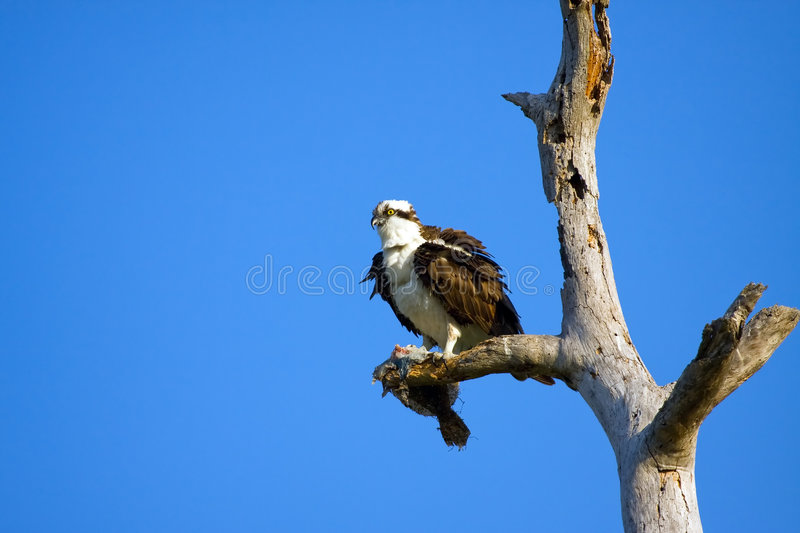 An Osprey clutches a Flounder royalty free stock photography