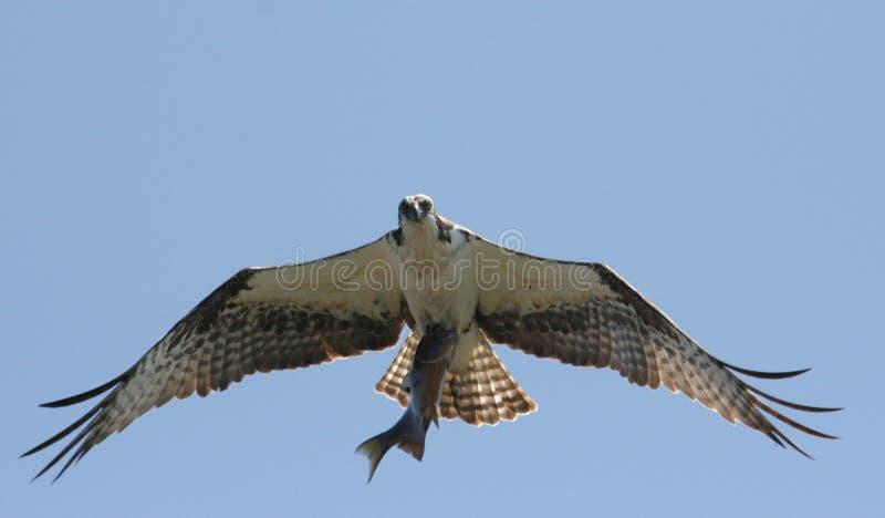 Osprey com peixes imagens de stock