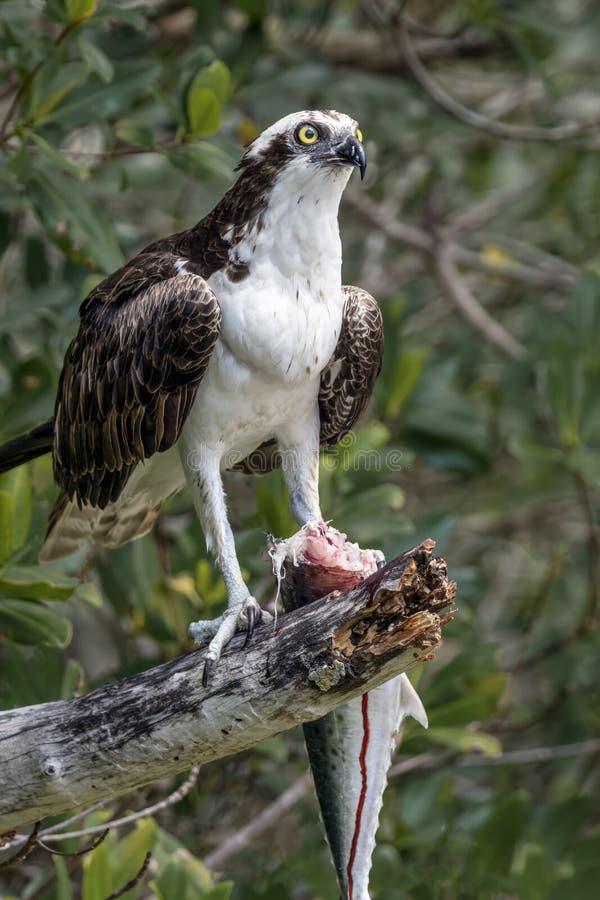 Osprey con la caballa española - isla de Sanibel, la Florida fotografía de archivo