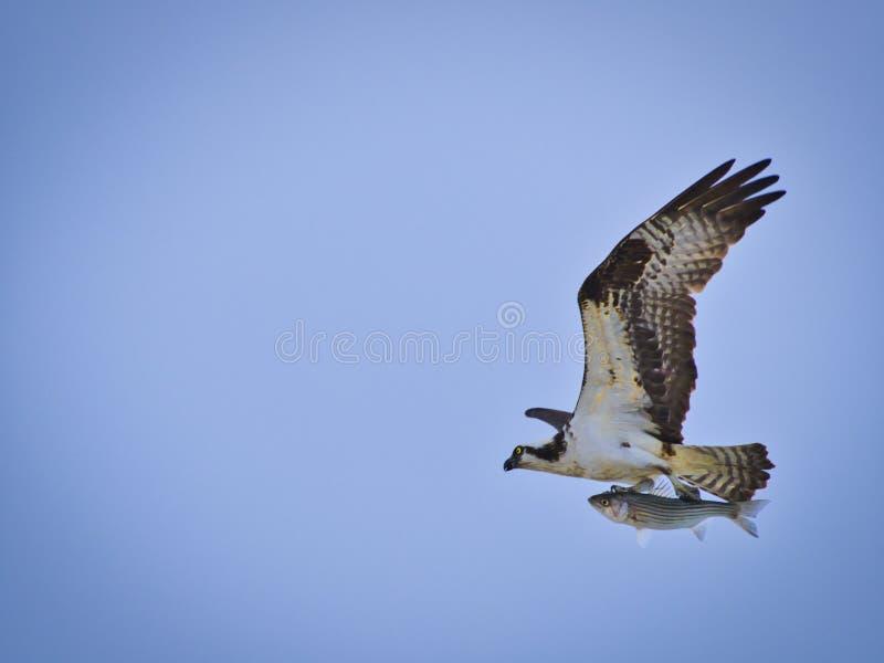 Osprey con la captura imagen de archivo