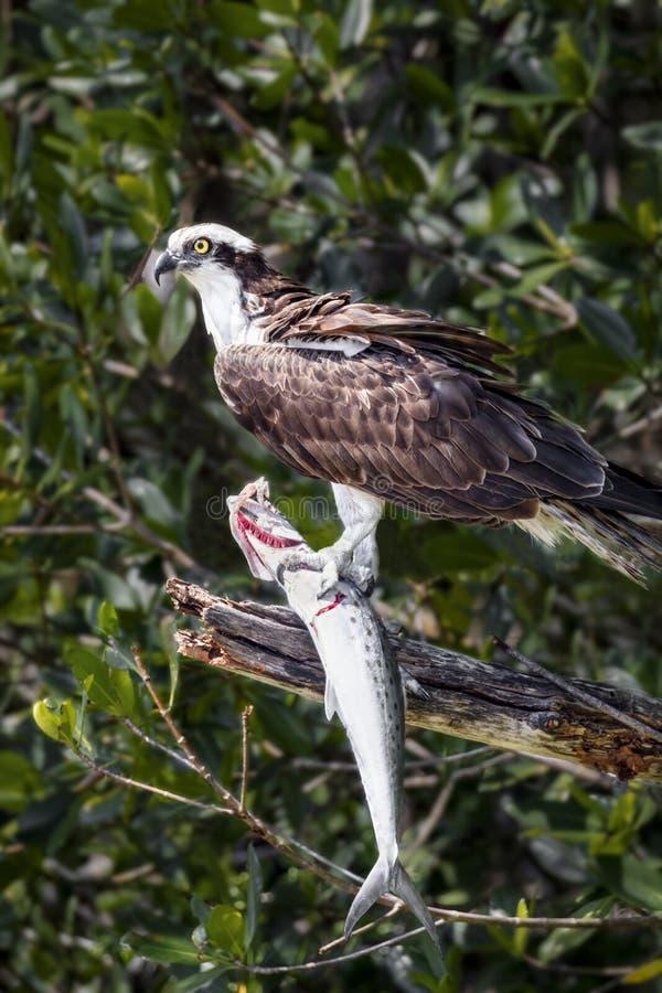 Osprey con los pescados - isla de Sanibel, la Florida fotografía de archivo libre de regalías