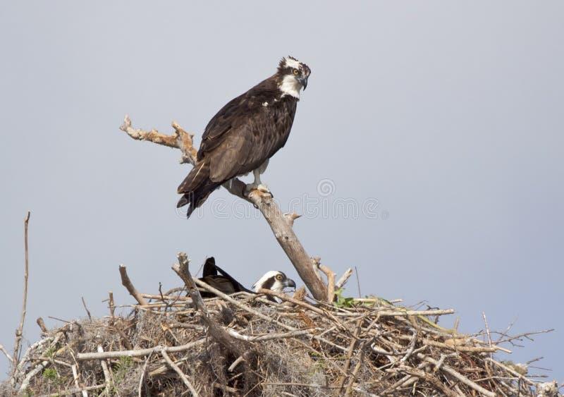Osprey de chéri dans l'emboîtement photographie stock libre de droits