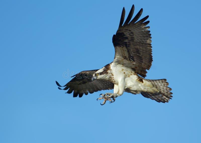 osprey de vol image libre de droits