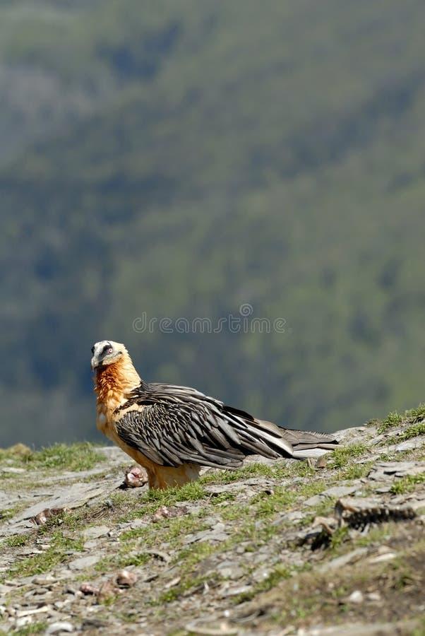 Osprey in den Pyrenees stockfotos
