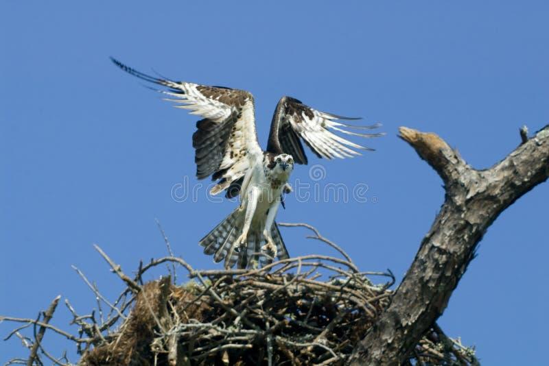 Osprey, der das Nest entfernt. stockbilder