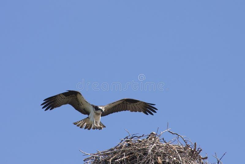 Osprey, der Land erbt lizenzfreie stockfotografie
